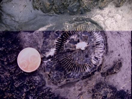 Fossils of a round form